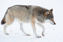 Wolf die in de sneeuw lopen Royalty-vrije Stock Foto's