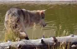 Wolf die Pool onderzoekt royalty-vrije stock foto's