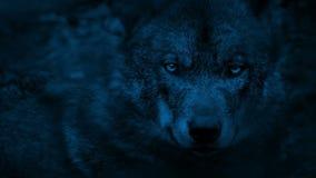 Wolf die rond het hout nacht bekijken stock footage