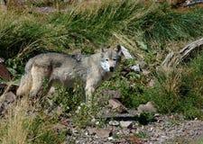 Wolf die zich op Linkerzijde bevindt stock foto's