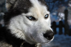 Wolf dog. It is a Siberia Wolf Dog At Uludag Mountain Stock Photography