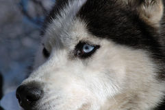 Wolf dog. It is a Siberia Wolf Dog At Uludag Mountain Stock Image
