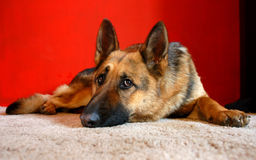 Wolf dog. Poor wolf dog lying on carpet before red wall Stock Photography