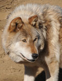 Wolf dog Royalty Free Stock Photo