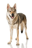 Wolf dog Royalty Free Stock Images