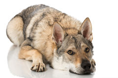 Wolf dog Stock Images