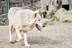 Wolf dog - Canis Lupus stock photography