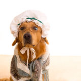Wolf dog dressed as grandma golden retriever. As Baby Little Red Riding Hood tale stock photography