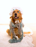 Wolf dog dressed as grandma golden retriever. As Baby Little Red Riding Hood tale royalty free stock image