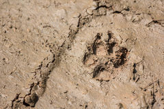 Wolf dog footprint paw tracks Royalty Free Stock Image