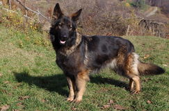 Wolf dog (German shepherd) portrait Stock Image