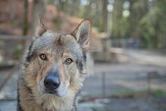 Free Wolf Dog Head Portrait Eyes With An Intense Gaze Stock Photography - 169864192