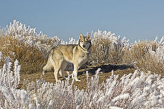 Wolf Dog On Hilltop on Sunny Winter Day Royalty Free Stock Photos