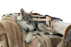 Wolf dog in his chairm Royalty Free Stock Photography