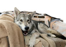 Wolf dog in his chairm Stock Photography