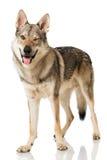 Wolf dog Royalty Free Stock Image