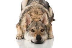Wolf dog Royalty Free Stock Photo