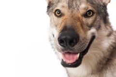 Wolf dog Stock Photos