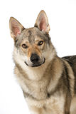 Wolf dog Stock Photos