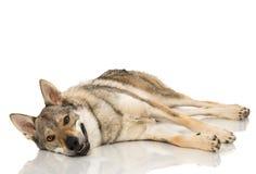 Wolf dog Stock Photography