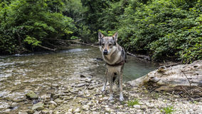 Wolf dog by the river Stock Photography