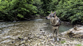 Wolf dog by the river Royalty Free Stock Photography