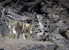 Wolf Dog Searching In Lava Flow Stock Photography