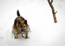 Wolf dog in snow Stock Photo
