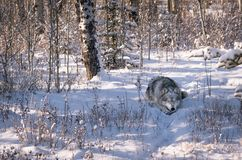 Wolf dog in snowy winter forest.