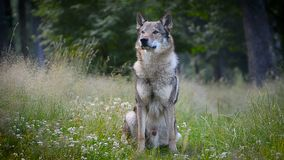 Wolf dog in summer sitting stock video footage