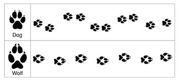 Free Wolf Dog Tracks Comparison Royalty Free Stock Photography - 136987897
