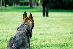 Wolf dog waiting to obey command from his handler. German shepherd the dog waiting to obey command from his handler, owner stock image