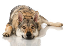 Wolf dog Royalty Free Stock Photography