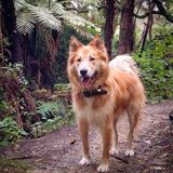 Wolf dog. Woods nature golden beautiful Stock Photo