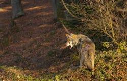 Wolf door zijn pak wordt uitgesloten dat royalty-vrije stock afbeeldingen
