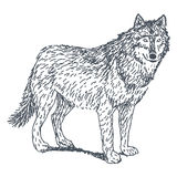 Wolf drawing. Wolf sketch drawing isolated on white background Stock Image