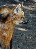 Wolf Drinking Maned photo libre de droits