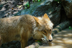 Wolf drinking water from pond. A thirsty wolf drinking from a pond. The wolf's brown fur is very detailed Royalty Free Stock Image