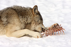 Wolf eating. Animal carcass remains in the snow Royalty Free Stock Photo