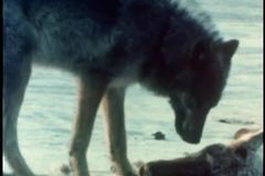 Wolf eating caribou carcass stock footage