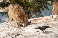 Wolf eating and hunting on the snow Stock Photo