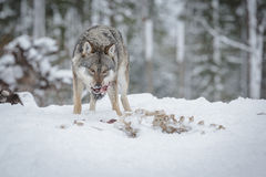 Wolf eating from a moose carcass Royalty Free Stock Images