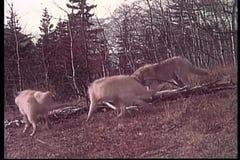 Wolf eating prey in wilderness stock video footage