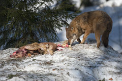Wolf eating in the snow Royalty Free Stock Photo