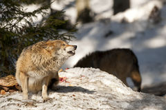 Wolf eating in the snow Stock Photo