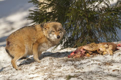 Wolf eating in the snow Royalty Free Stock Photos