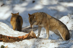 Wolf eating in the snow Stock Photos