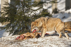 Wolf eating in the snow Royalty Free Stock Image