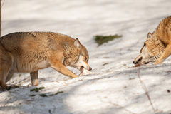 Wolf eating in the snow Stock Image