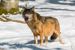 Wolf eating in the winter forest. Bavaria, Grermany Stock Photo